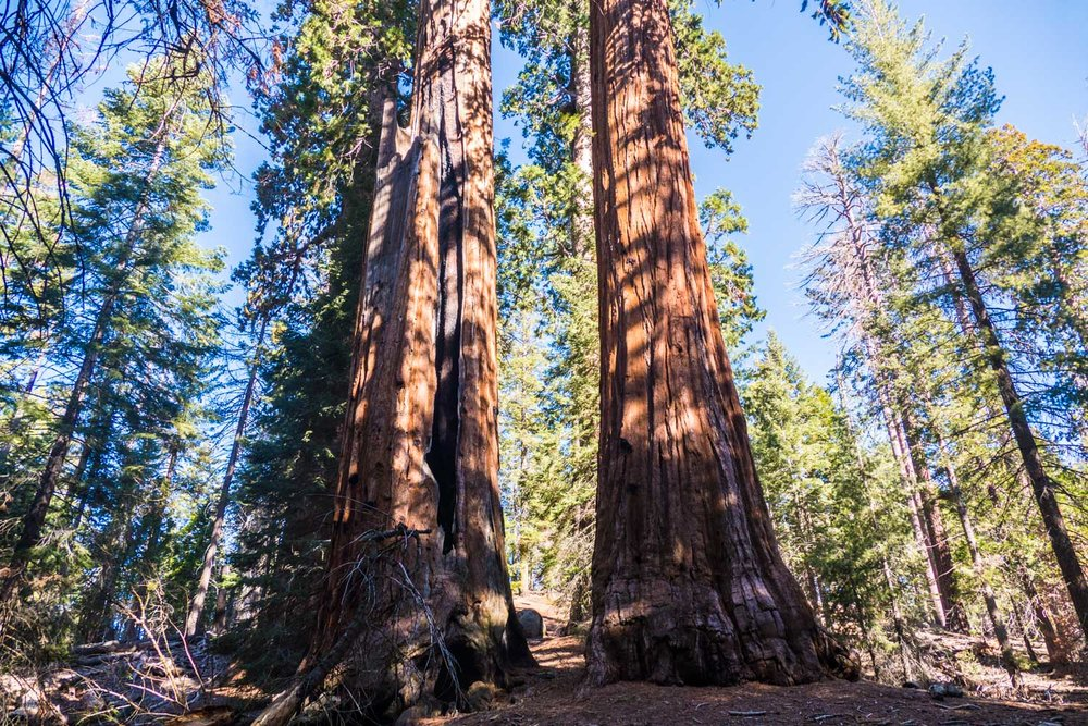 Redwoods in Sequoia NP, California, USA. These giants won't survive without fire, they need it to release their seeds.