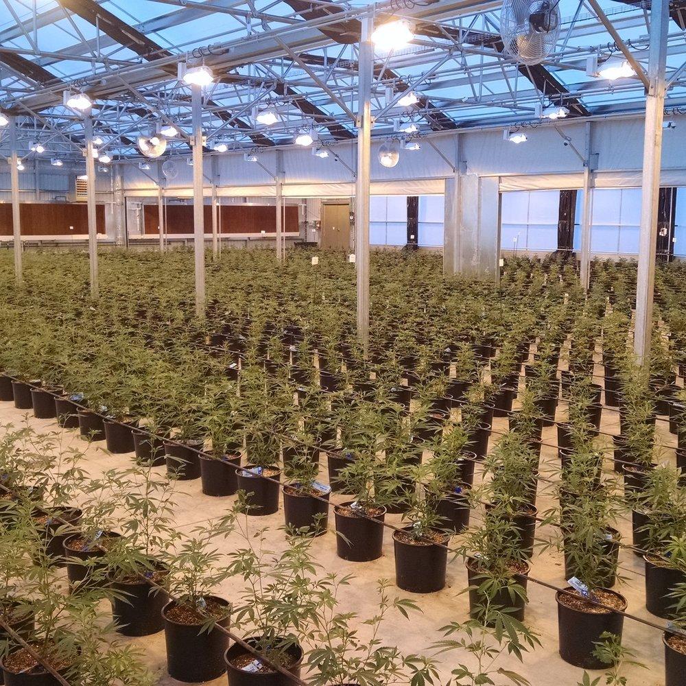 Cannabis -