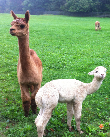 Beautiful alpacas at Spruceridge Farm