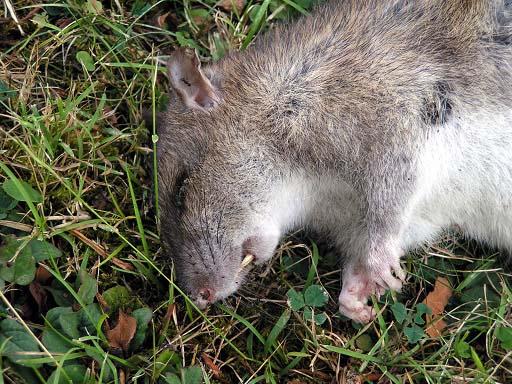 dead rat.jpg