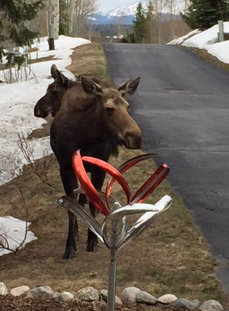 On Easter morning we had these two moose in our yard admiring our wind sculpture...even our wildlife admire Mark's art! - Jeff in Colorado