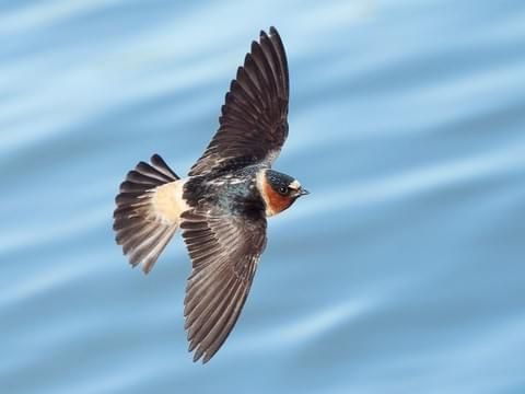 Swallow learning to fly.jpg