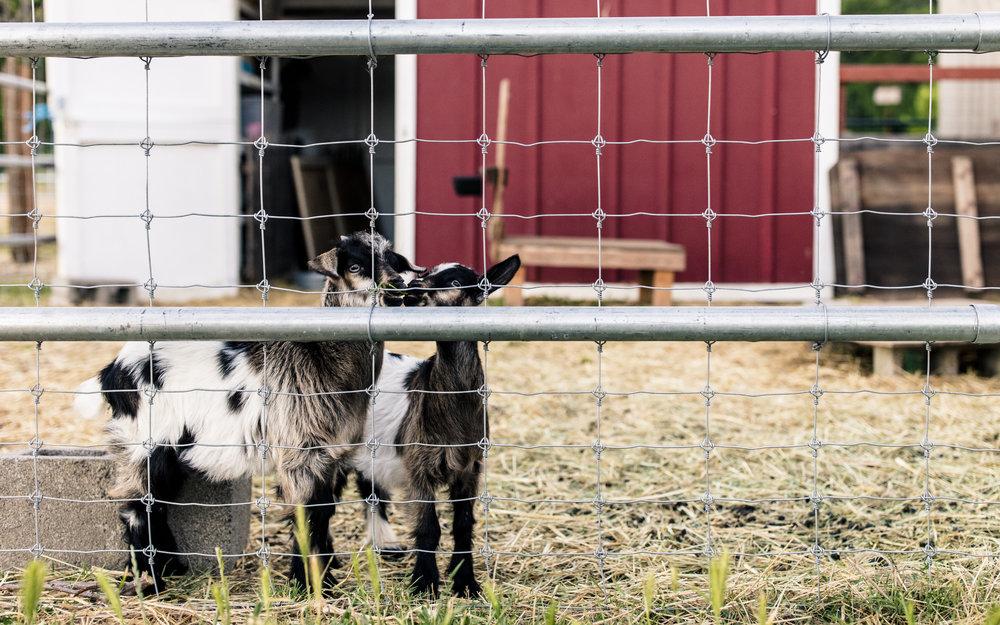 Goats (2).jpg