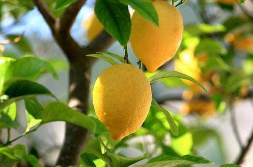 Trim-Your-Lemon-Tree.jpg