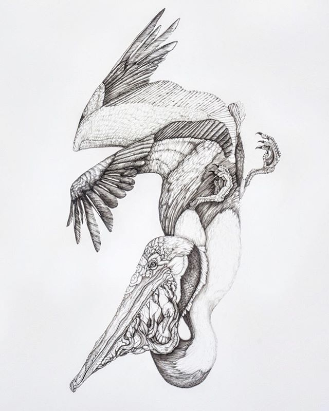 """Close-up from my last post! """"Pelecanus Occidentalis"""", 44"""" x30"""", Pen and ink on paper.  ___ This piece is about the plight of the once endangered, and now threatened Brown Pelican. As most of you know, I'm a little obsessed with pelicans (and I get pretty close to high-fiving them in the water most mornings), and so I thought I would share with you little throwback to the first Pelican piece I ever made back in 2015!  ___ Here I blend two styles- biological pen and ink illustration with surrealism. I do this is blend our science-minds with our creative dream-minds in order to hold space for conversations about conservation...because we are all connected. This connection inspires me with its beautiful terror. We must learn to feel and protect our interconnectedness to this planet in order to inspire change and healing. Just like we continue to do with success of the return of the Brown Pelican. ✨ enjoy! ✌🏽"""