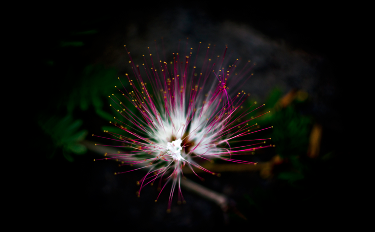 The Flower of Happiness - Albizia julibrissin    Lake Atitlan, Guatemala.
