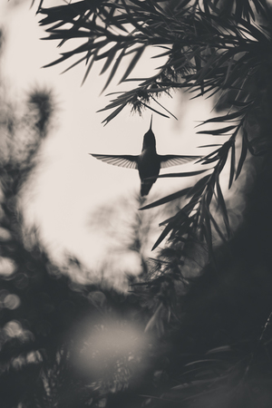 Flight of the Hummingbird    Bolinas, California.