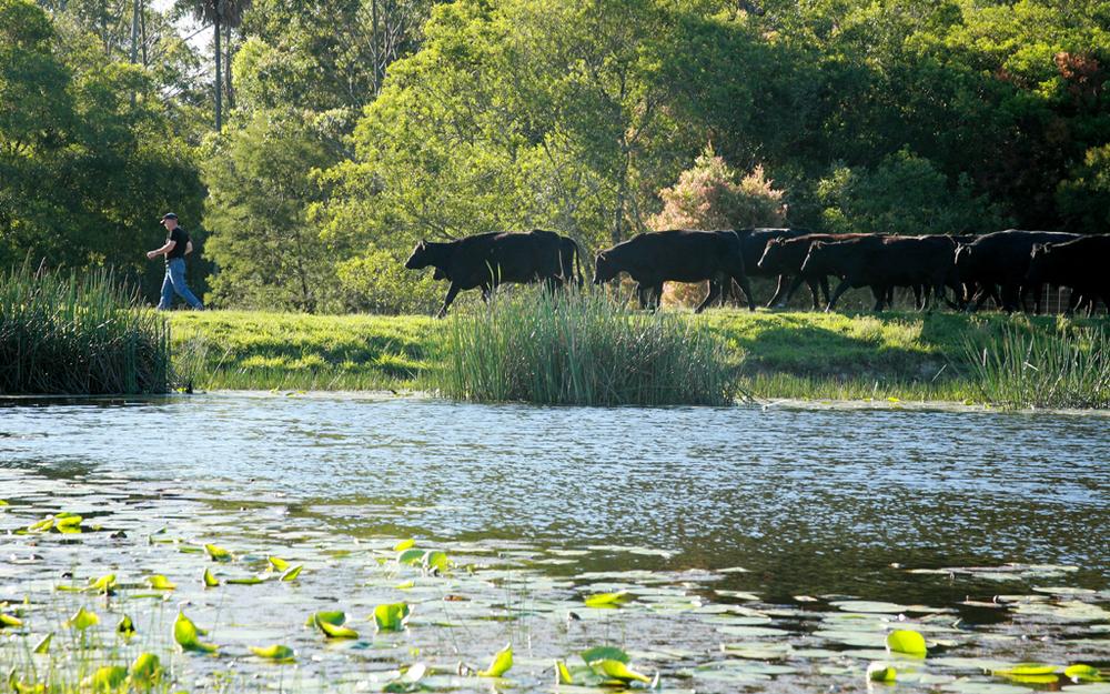 cattlefollowtheleader.jpg