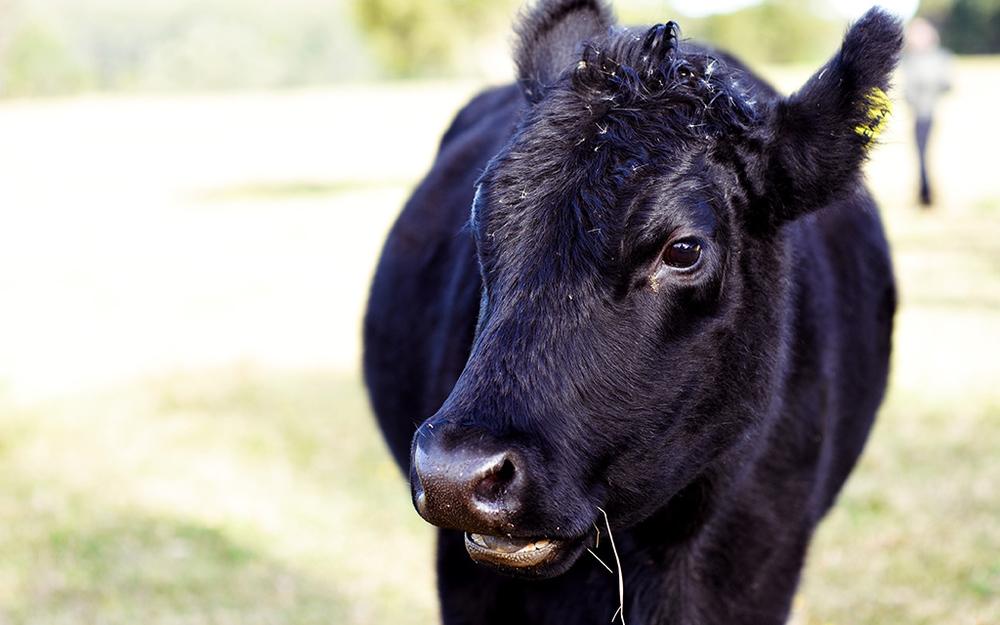 Cows-head.jpg