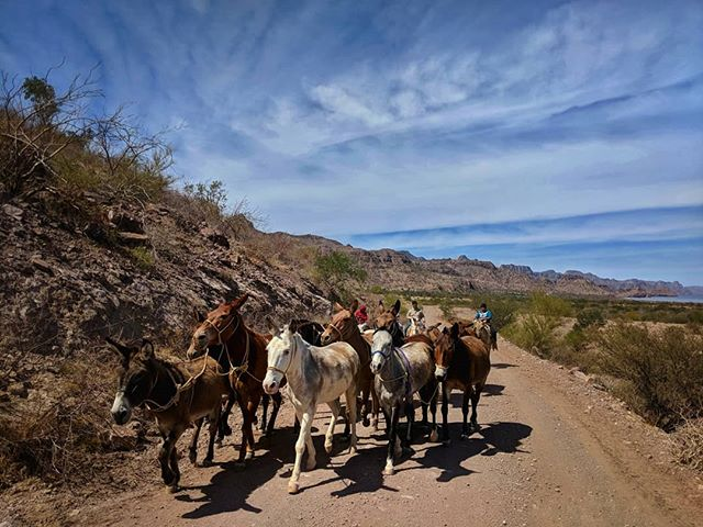 After an amazing four nights at Agua Verde it was time to travel on to other things. This pack of mules was my last reminder about how simple things are down in this valley. What a beautiful place to have found! #muledrive #ranchlife #optoutside #neverstopexploring #baja #bajacalifornia #bajacaliforniasur #aguaverde #mexico
