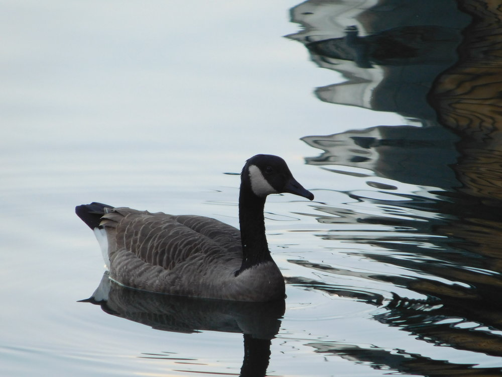 Goose in Boston, Massachusetts.JPG