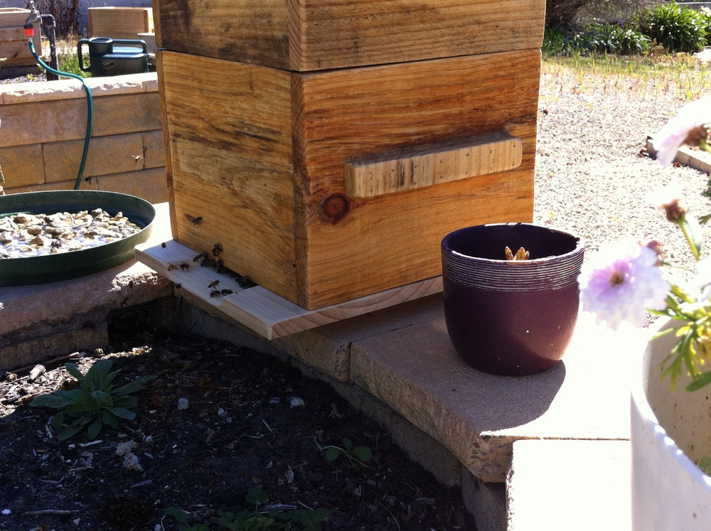 The same bees in a new warre hive.