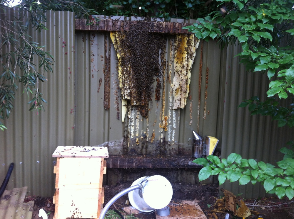 six foot high doubled-up steel fence with a 6 inch gap, under the shade of a gum tree... perfect spot for a monster hive.