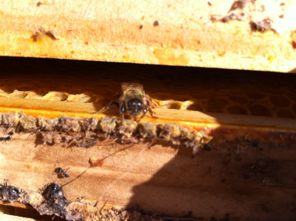 A queen alone in her dead hive.