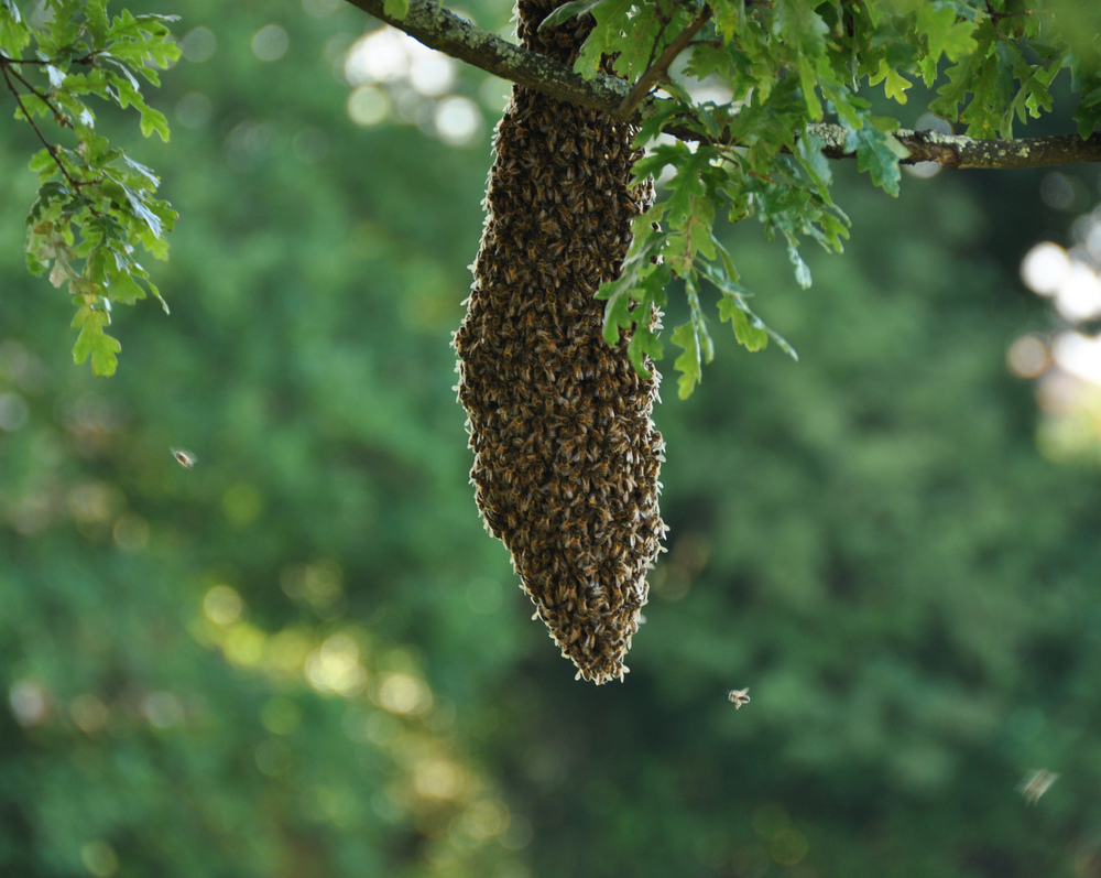 A  swarm of bees . Docile, fast, easy.