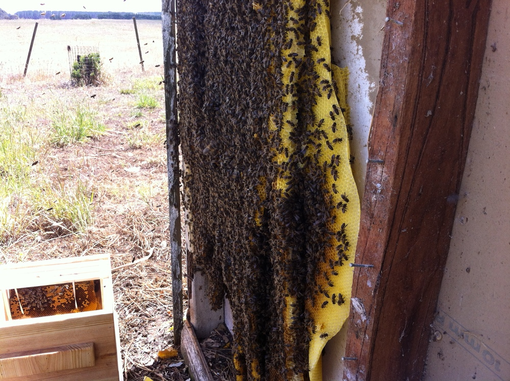 A large hive removal from a wall cavity in Suttontown.