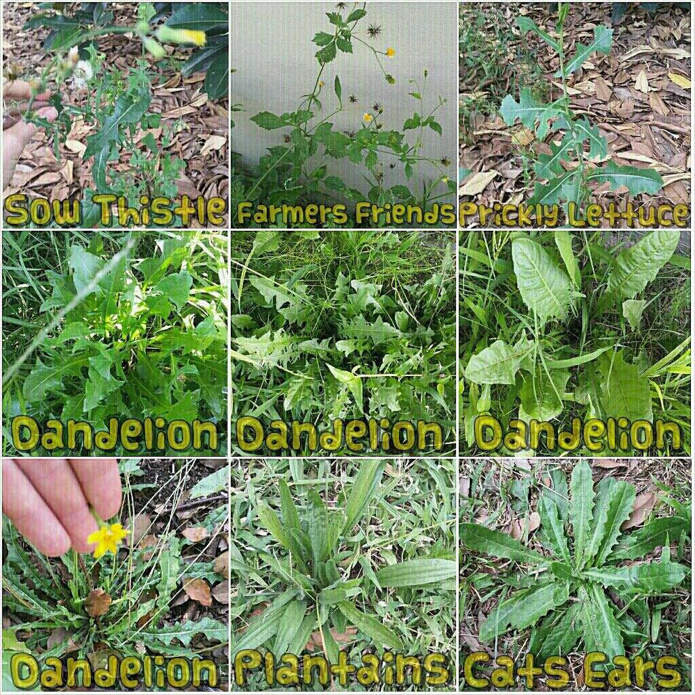 Some common edible weeds