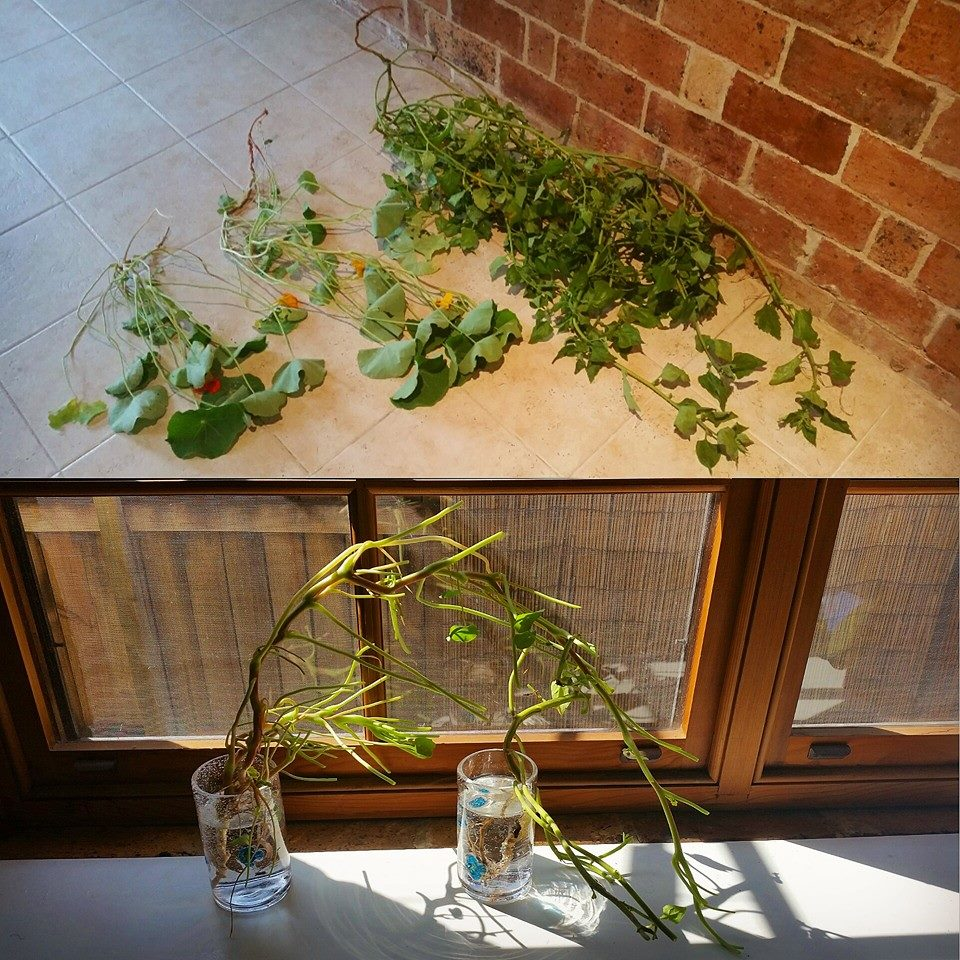 Nasturtium and warrigal greens cuttings being propagated