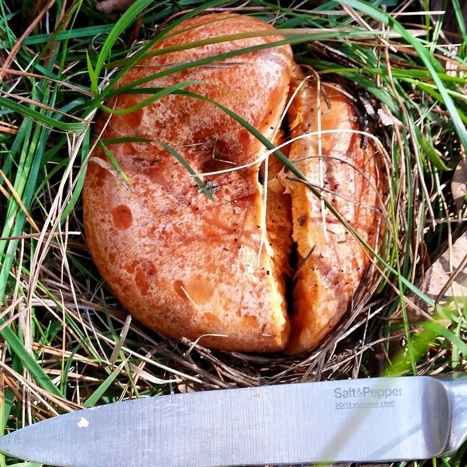 Saffron Milk Cap (Lactarius deliciosus)