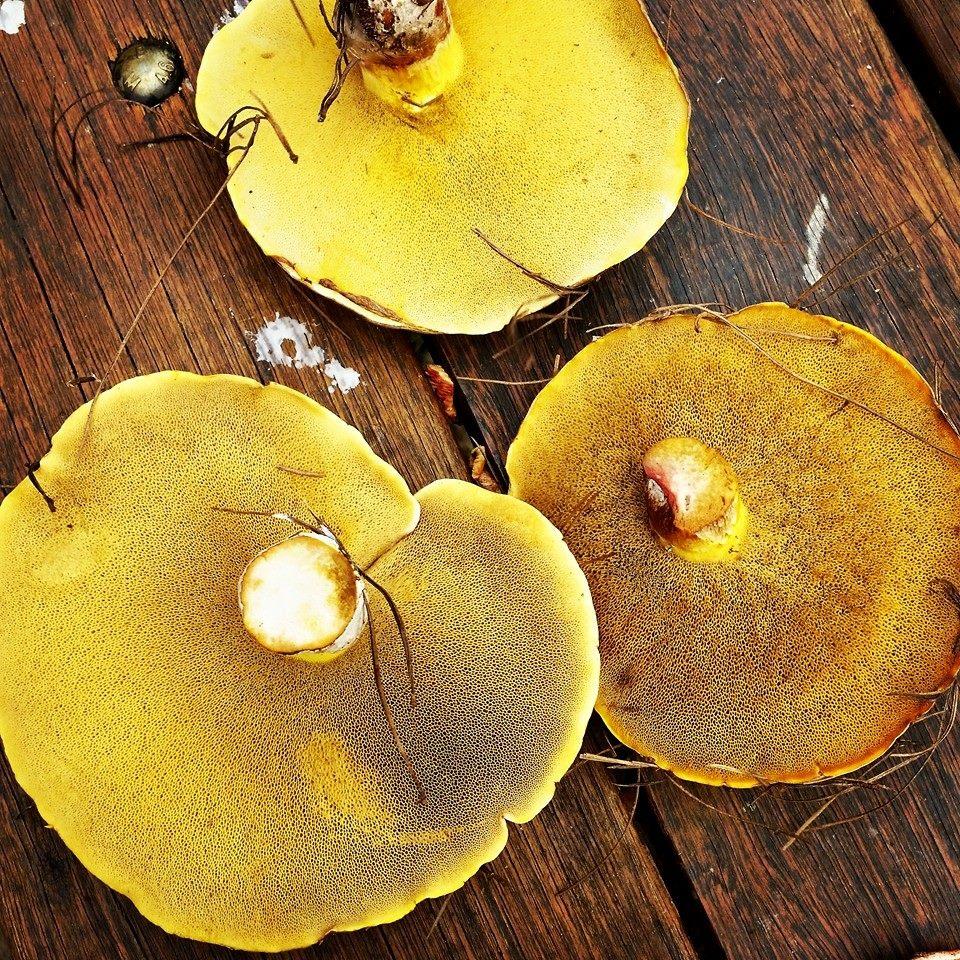 Slippery Jacks (Suillus lutius)