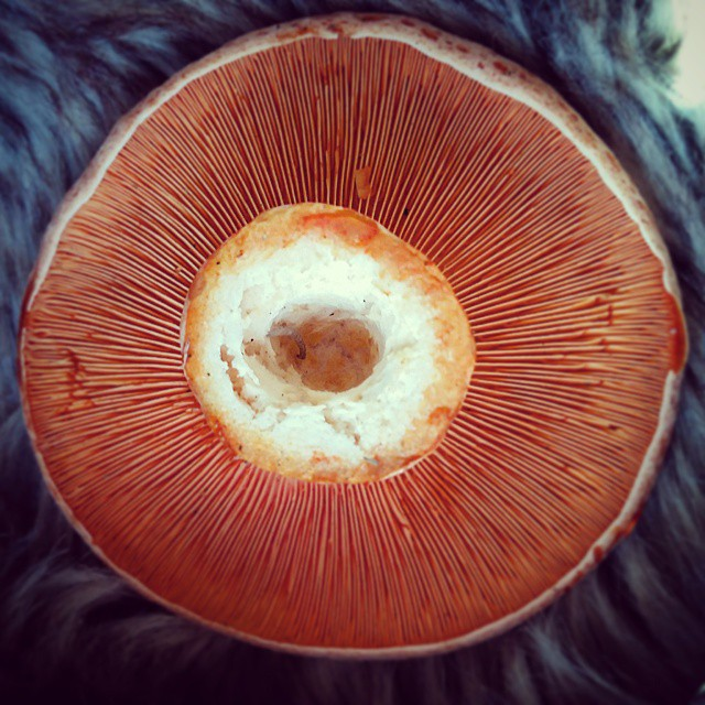 Saffron milk cap gills - mother nature's perfection
