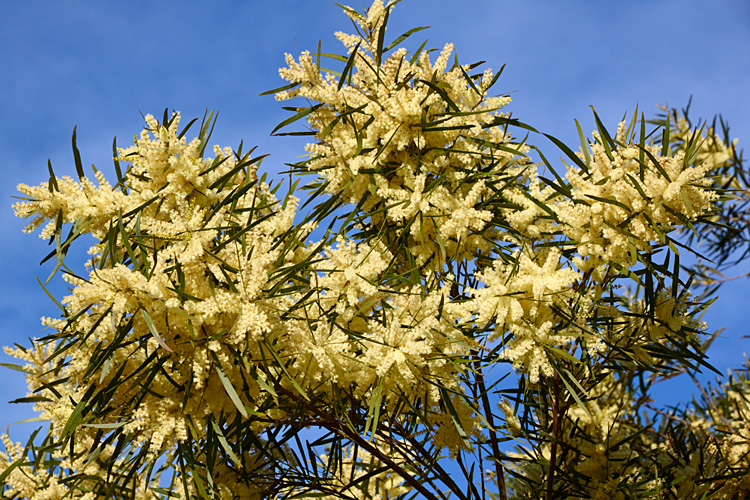 White sallow wattle, Acacia floribunda. CC by Hortiphoto - Previously published here>