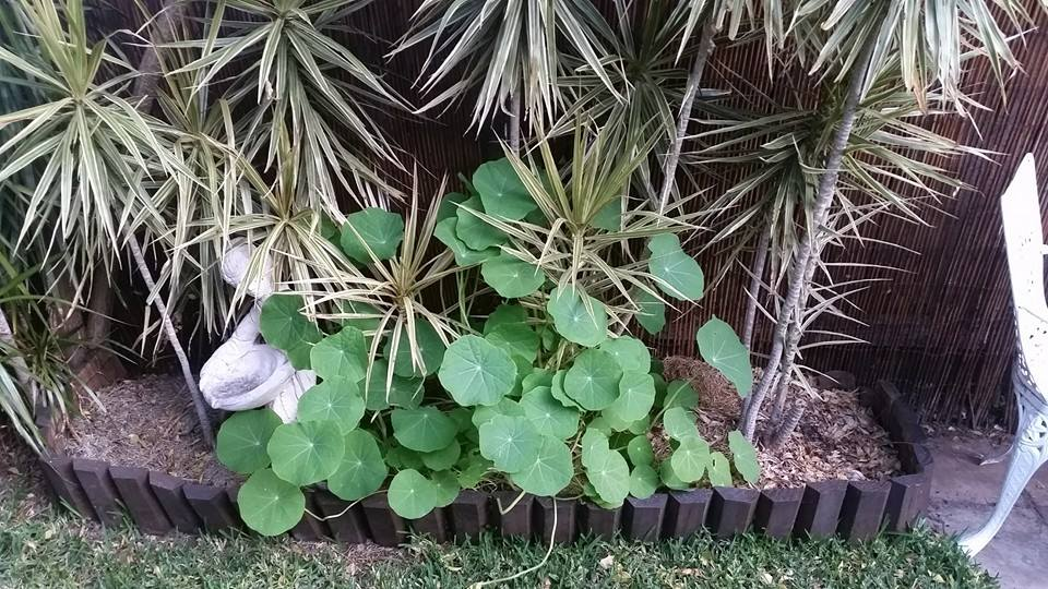 Nasturtium, propagated from weeds, growing happily in my backyard.