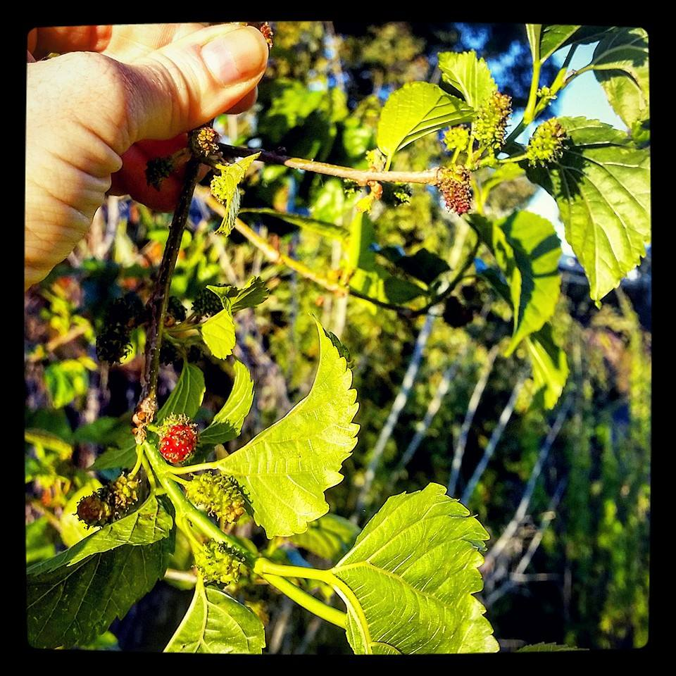 Mulberry season is upon us, Sydney!