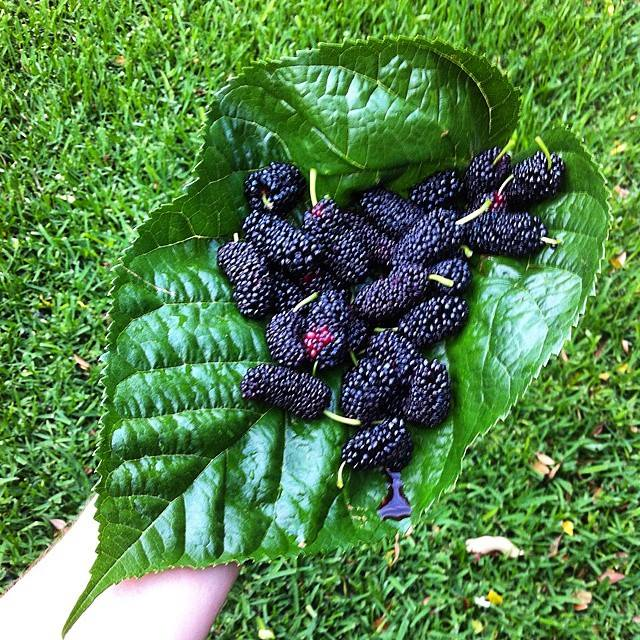 Freshly picked mulberries