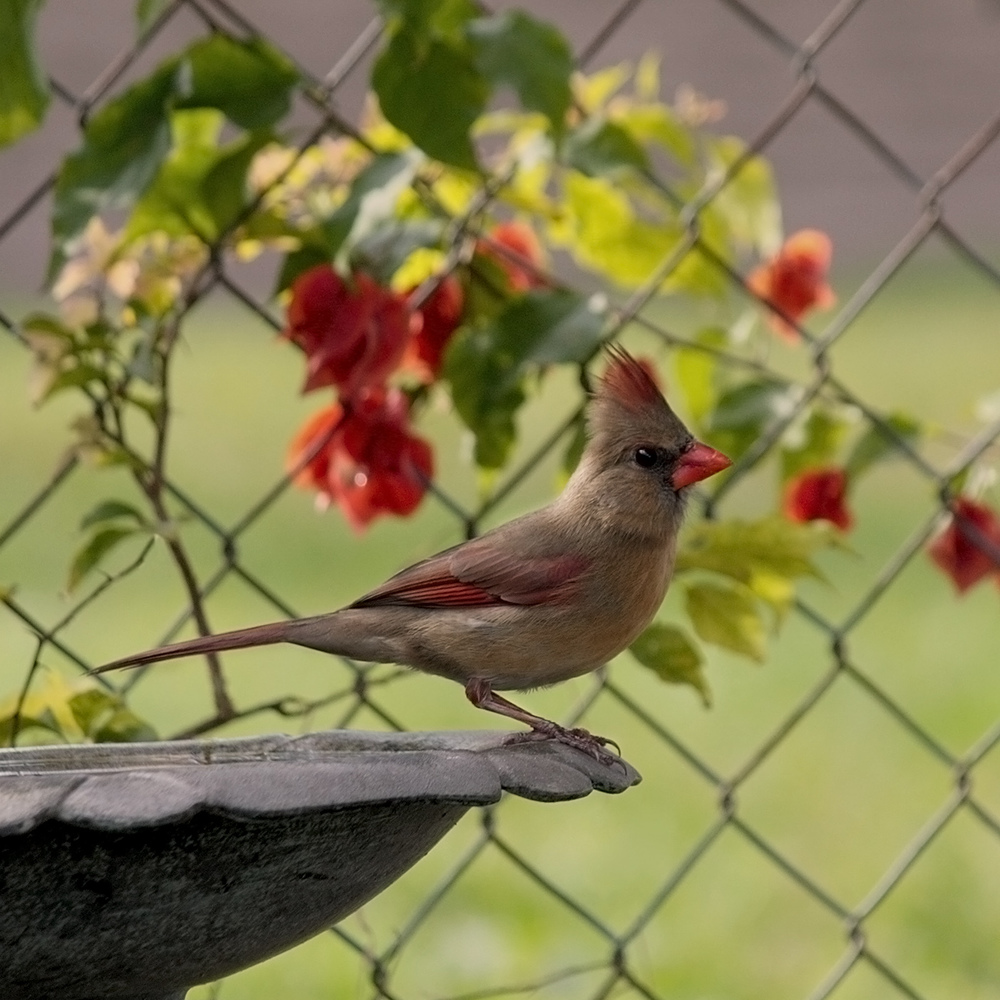 Female cardinal perched on the birdbath in my side yard