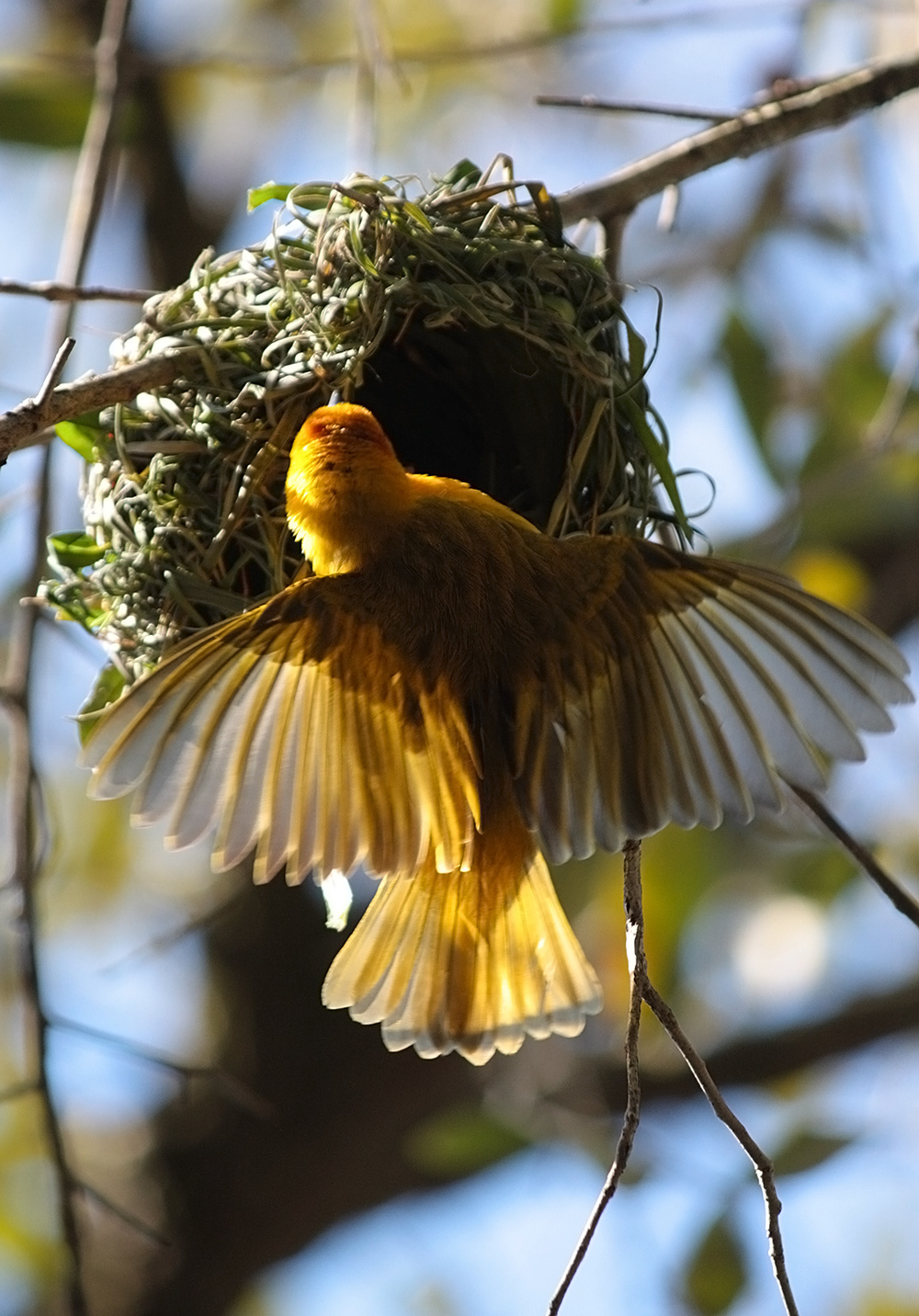 African Weaver bird nesting at Disney's Animal Kingdom park