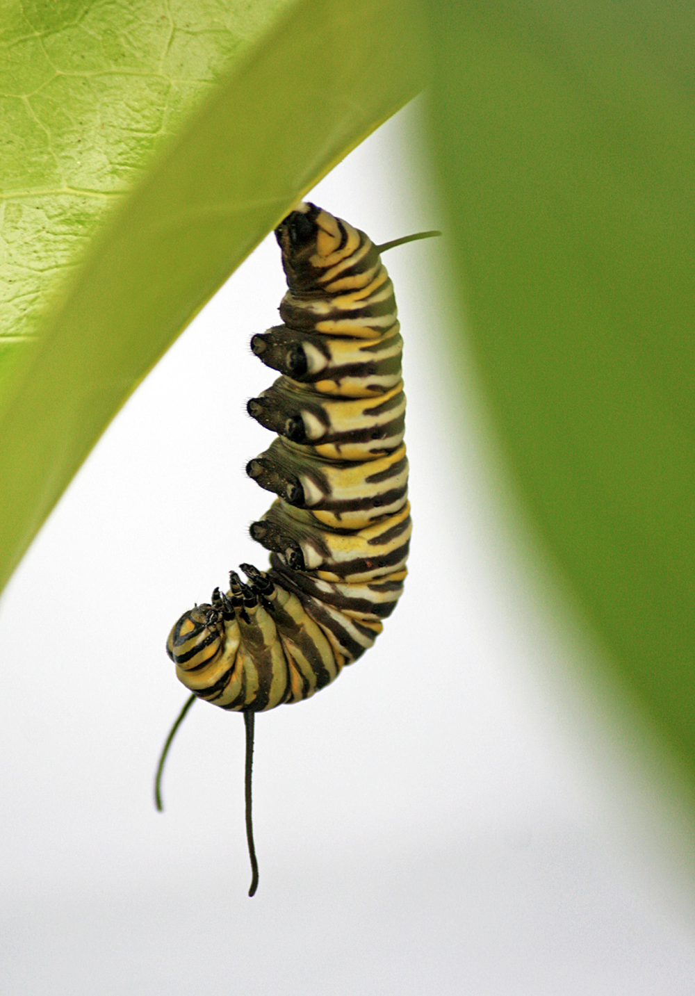 "making a ""J"" - getting settled in to pupate"