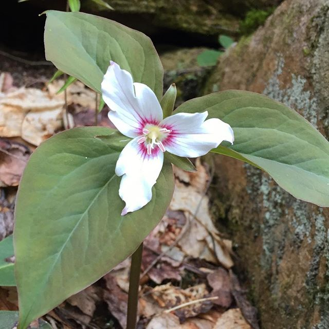 Third spring in the Smokies and my first Painted Trillium 💖 only saw two of them on this trail but that was good enough for me 👍 . . . #springinthesmokies #MargaretteFallsTrail #GreenevilleTN #springwildflowers #paintedtrillium #gemgirlhikes #onlytennisee