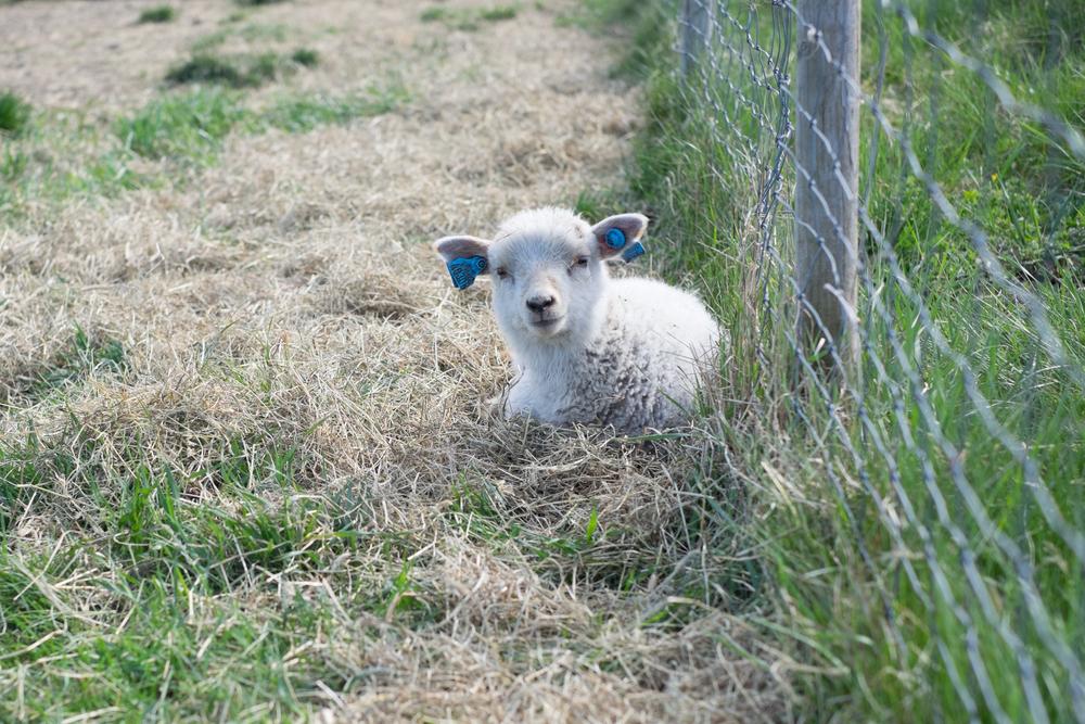 Lamb - SOOC-1.jpg