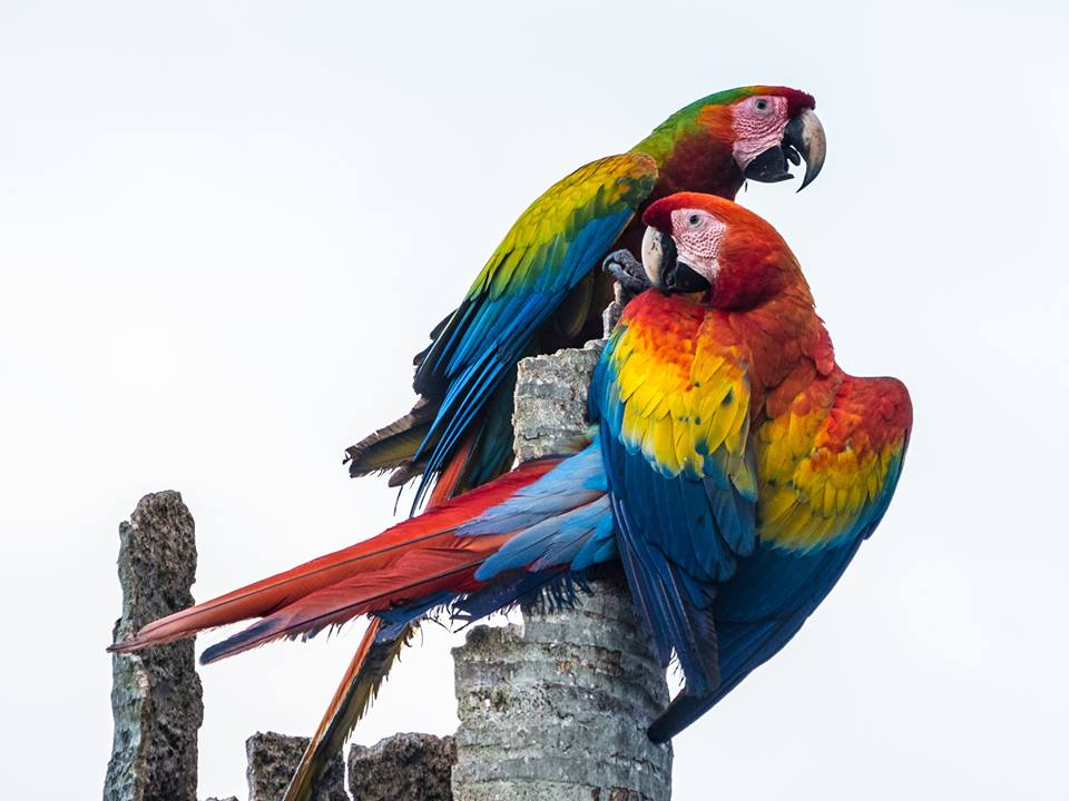 Two scarlet macaws at their nesting place, discussing how much they love Finca Luna Nueva. (Courtesy of Tom Newmark)