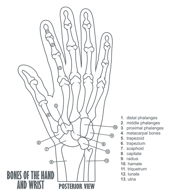 Bones-of-the-hand-and-wrist-anatomy-533347150_557x632.jpeg