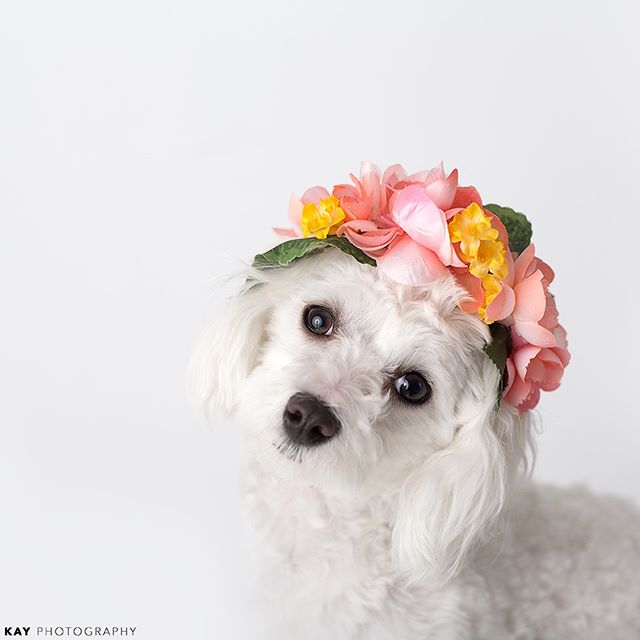 Here is a little reminder that 🌻🌹 spring 🌸🌼 is just around the corner - love, Chewy 🐶 - - - - - - - - - - - - - - #clickinmoms #clickpro #canon5dmarkiii #letthekids #dearphotographer_mag #dearphotographer #candidchildhood #momtogs #petsmart #petsofinstagram #dogsofinstagram #dog #puppylove #puppiesofinstagram #pet @petsmart #pets_perfection #puppiesofig #dogloversofinstagram #ohmyheart