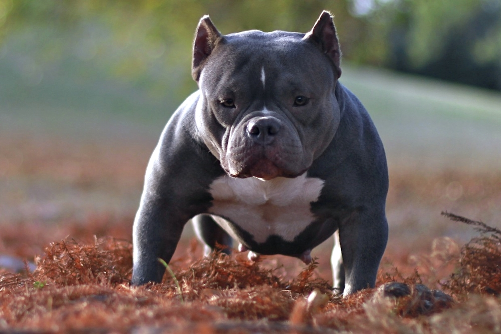 Micro Bully Puppies | Dog Breeds Picture