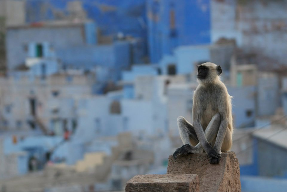 A southern plains grey langur looks over Jodhpur, India