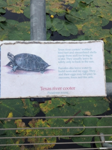 Texas River Cooter.jpg