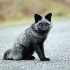 silver fox 5.jpg