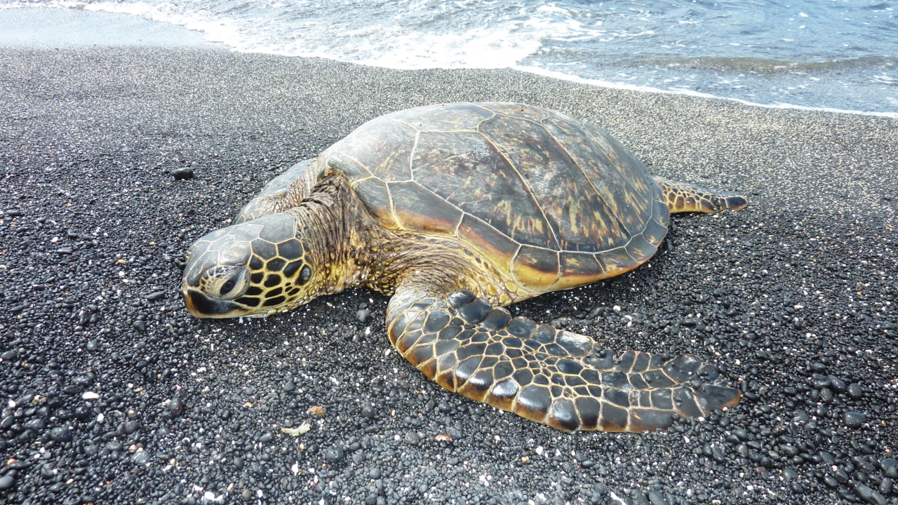 Next Thursday I return to Hawaii, I am so looking forward to swimming in the warm ocean with the honu.