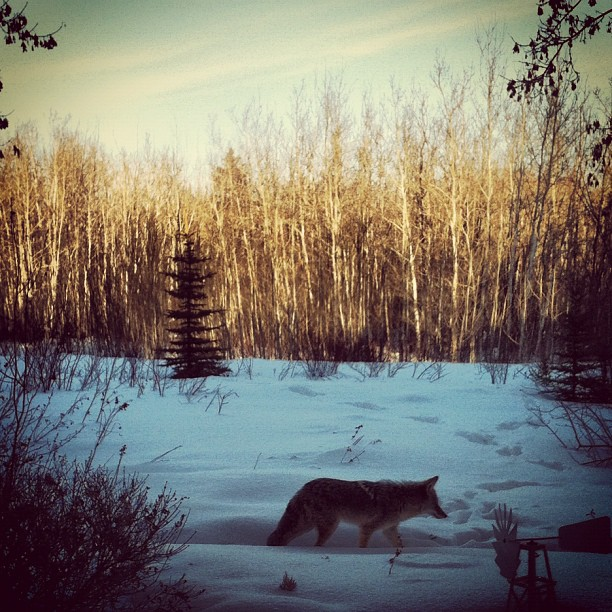 Back home for the weekend in Edmonton. Chilling after a couple weeks of shows! Coyote came to say hello in our back yard in the river valley. (at my childhood home)