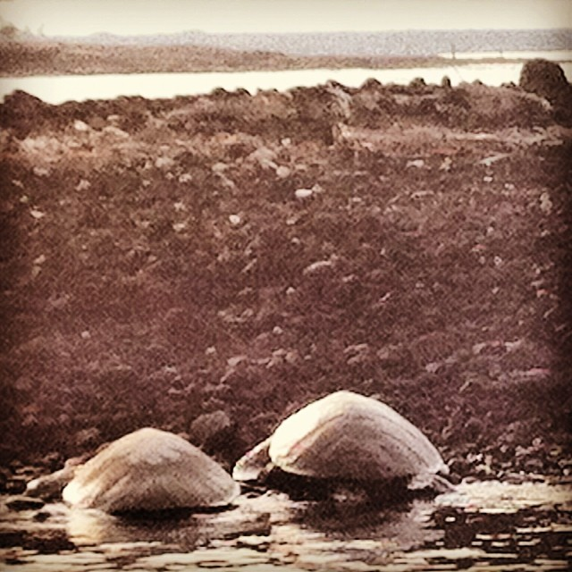 Honu resting together. Our natural state is love and friendship. Aloha! (at Kiholo Bay)
