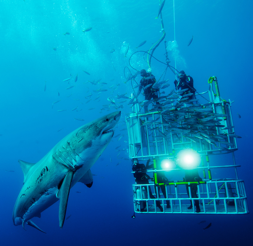 globephoto :     The Big Picture: National Geographic Photo Contest 2011    CONFRONTING: Cage divers confront a great white  shark on the Isla de Guadalupe. (Photo and caption by David  Litchfield/Nature/National Geographic Photo Contest)     Click image to view gallery     A couple of these divers seemed to miss the memo about STAYING IN THE FUCKING CAGE.