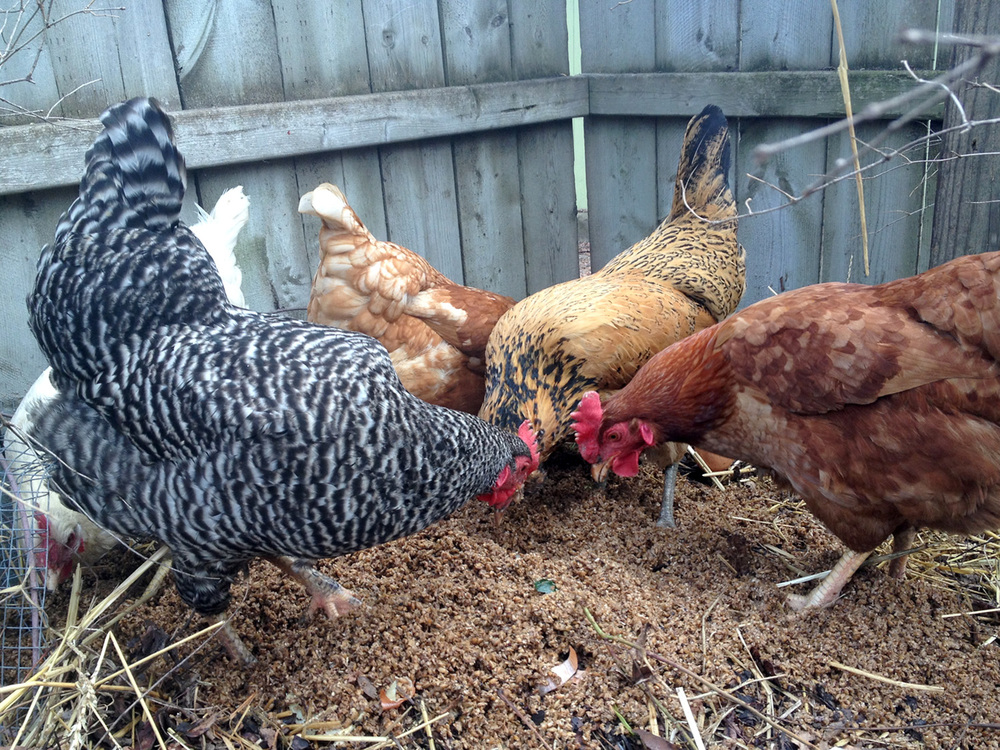 Sean Curry's chickens feeding on spent grain