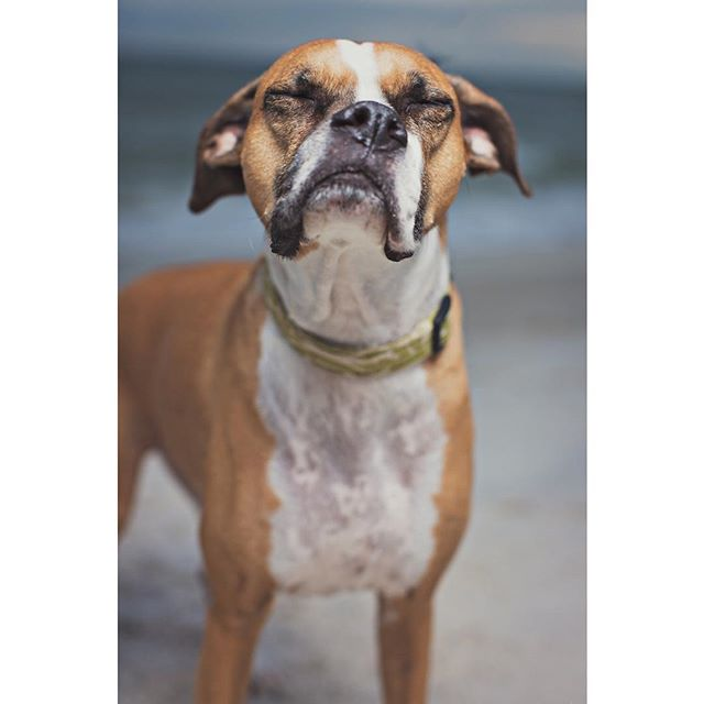 Finally Friday! #clairerhodesphotography #dogphotography #boxerdogs