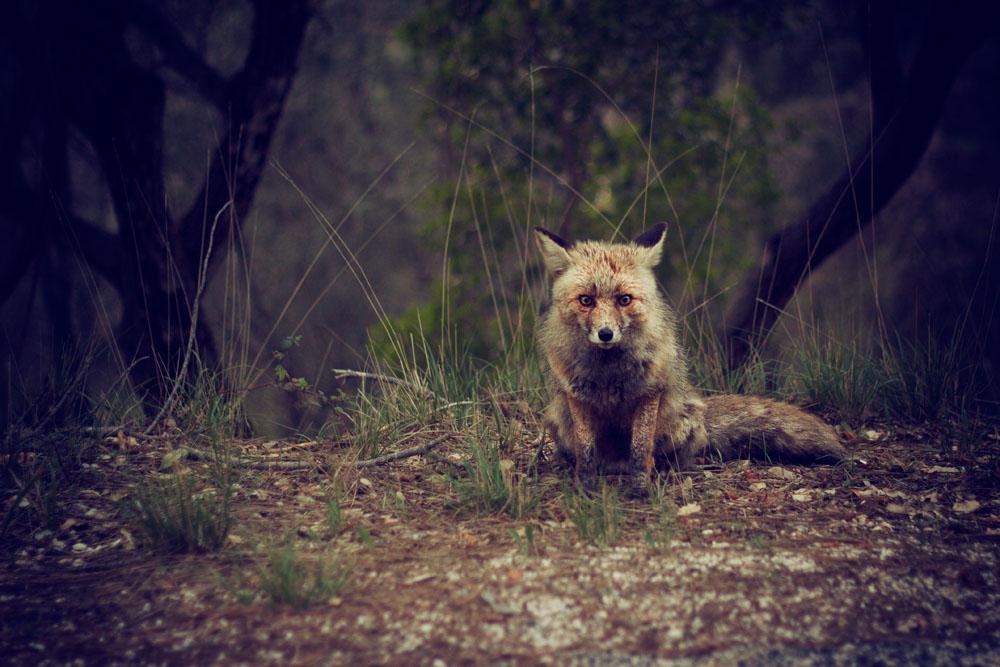 Photo Credit: unsplashphoto_fox-in-the-forest-by-jose-inesta
