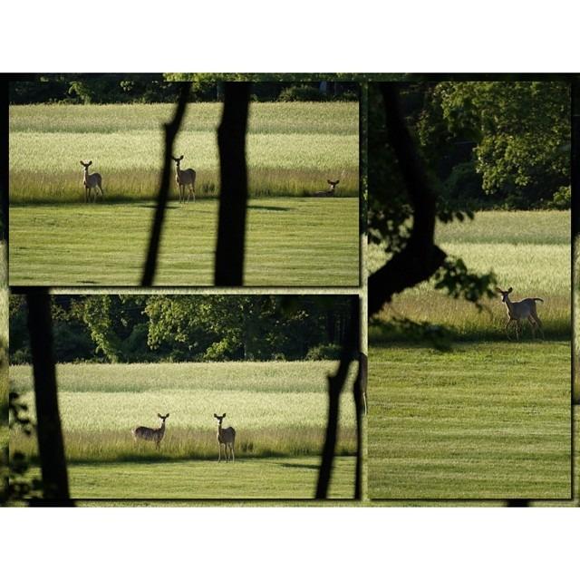 #deer #nature #easthampton #newyork #collage #mosaic #vsco #vscocam #nofilter #moldiv (at East Hampton Village District)