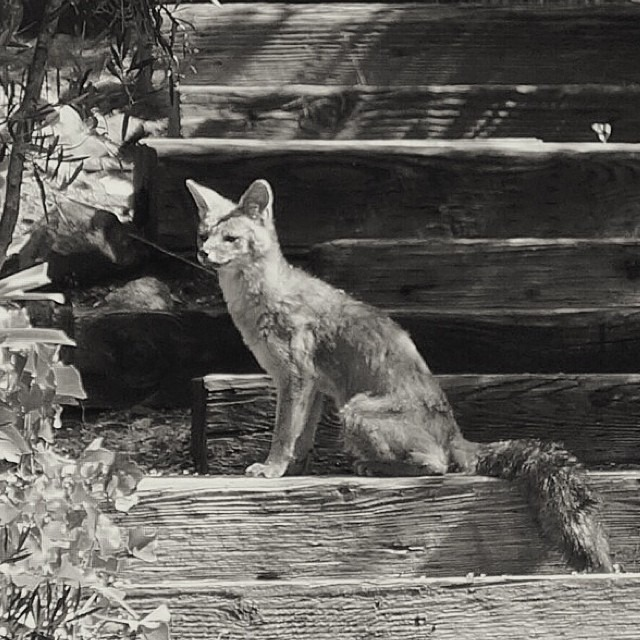 Another #napavalley morning visitor #fox #wildlife #vscocam X5 #blackandwhite #bw (at Baconbrook)